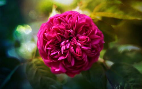 好看玫瑰意境素材_玫瑰的芬芳