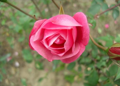 单朵玫瑰花