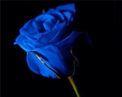 七夕爱情玫瑰图片_象征爱情的玫瑰花